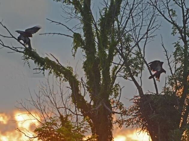 Vermont's Bald Eagles Soar to New Heights