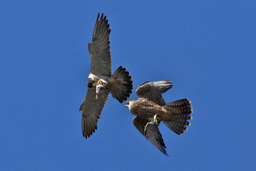 Adult Peregrine Falcon hands prey off to a fledgling in mid-air.