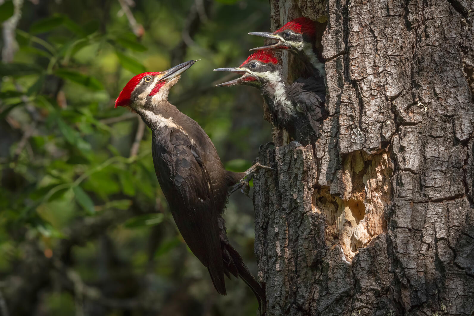 Pileated Woodpecker nestlings in a snag get fed by their parent.