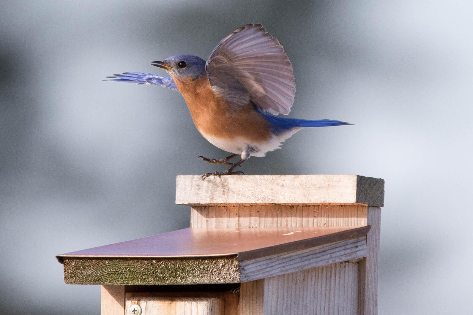 Eastern Bluebird lands upon a bird nest box.