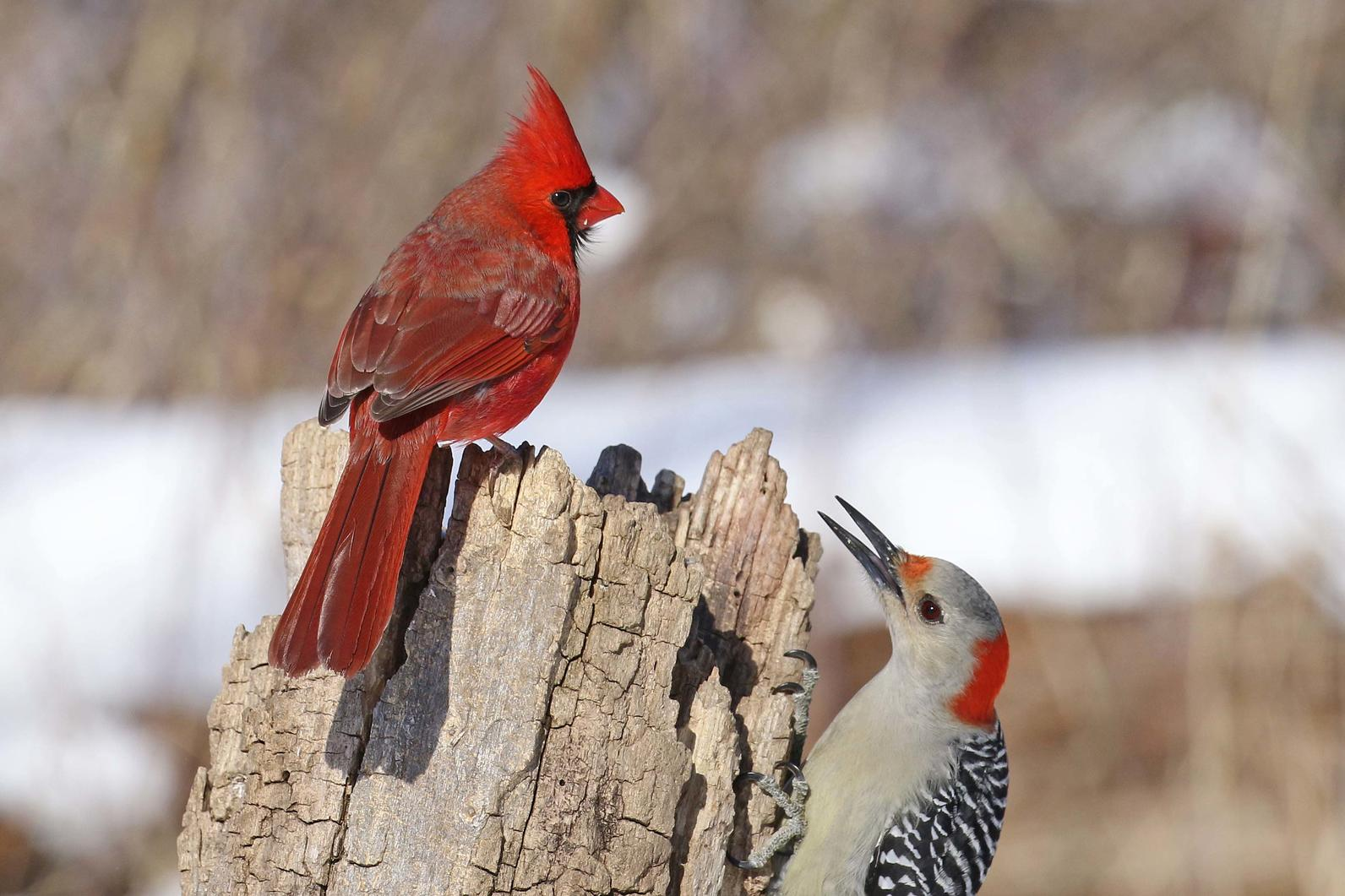 Northern Cardinal and Red-Bellied Woodpecker