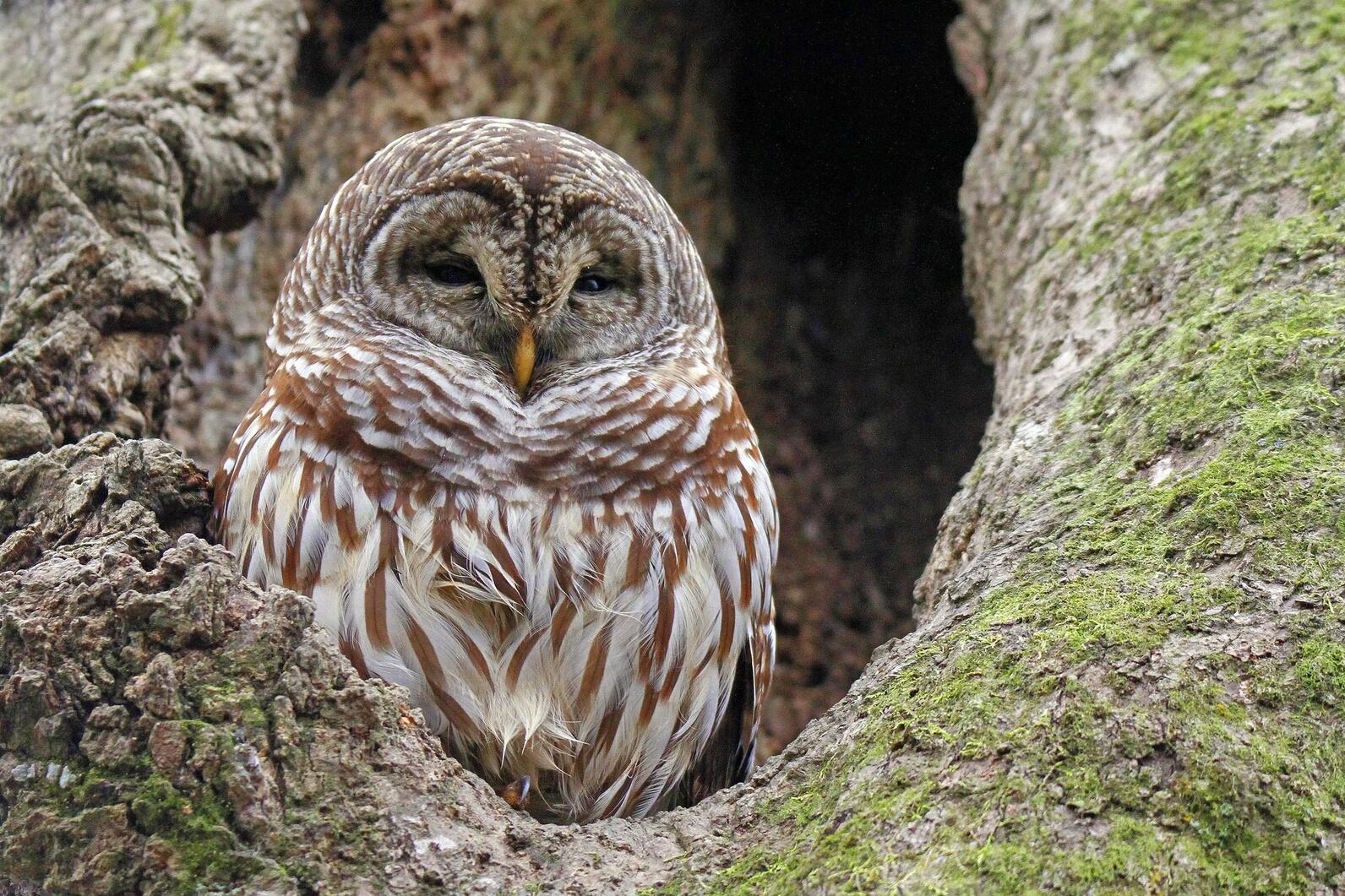 Barred owl in a sugar maple