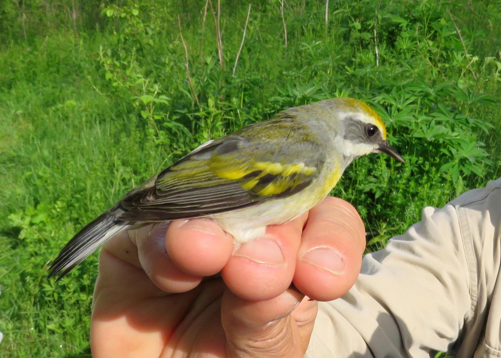 winged-warbler