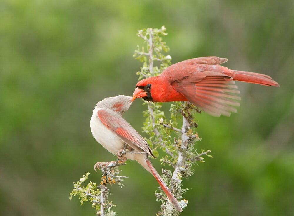 Northern Cardinal mating pair.