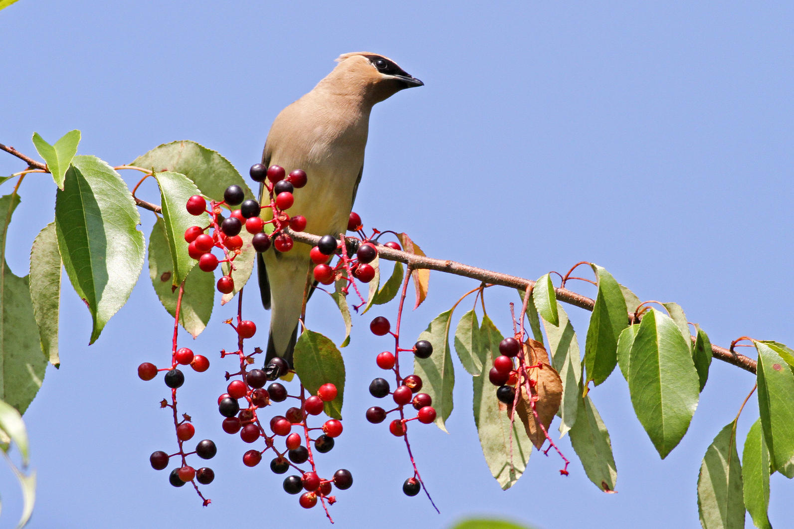 Cedar Waxwing with Black Cherry