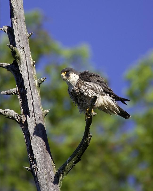 Peregrine Falcon Vermont