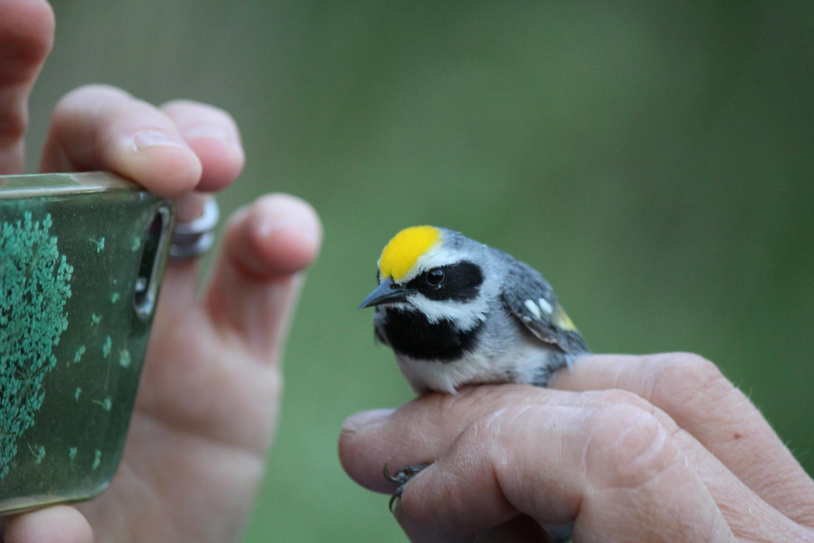 Golden-winged Warbler Geotagging