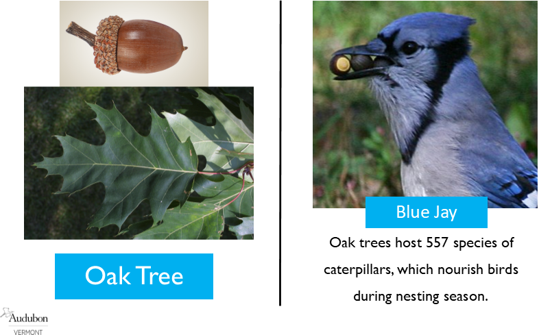 Red Oak and Blue Jay