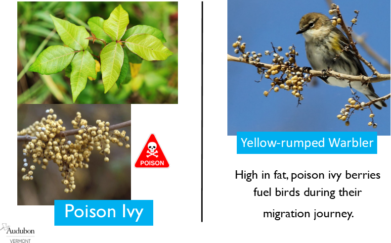 Poison Ivy and Yellow-rumped Warbler