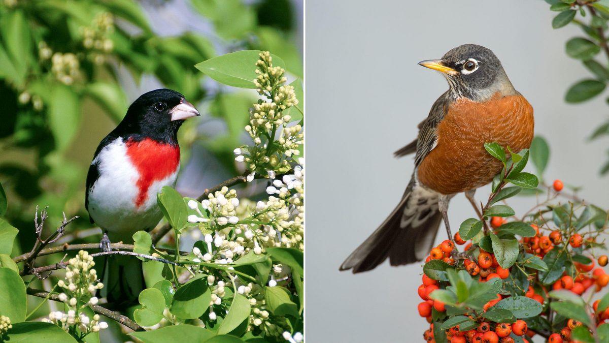 Grosbeak and Robin