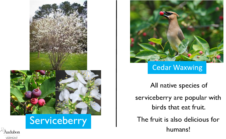 Serviceberry and Cedar Waxwing