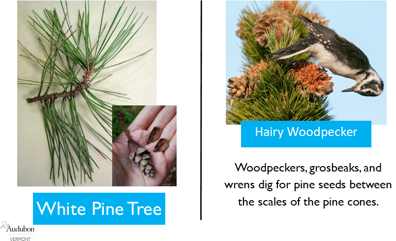 White Pine and Hairy Woodpecker