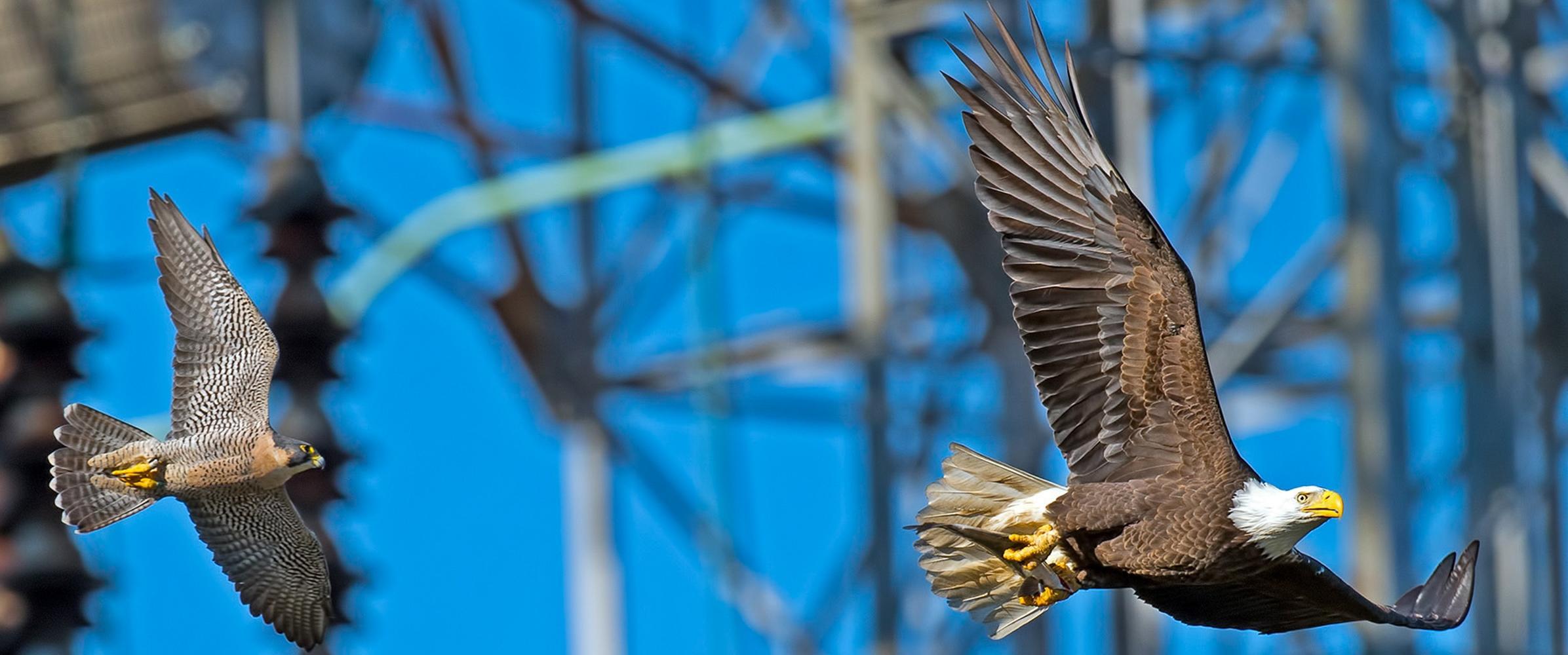 falcon and eagle