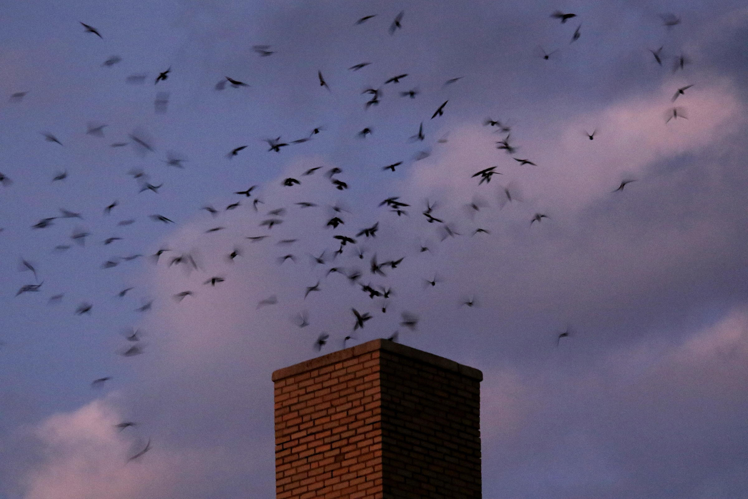 Chimney Swifts roosting