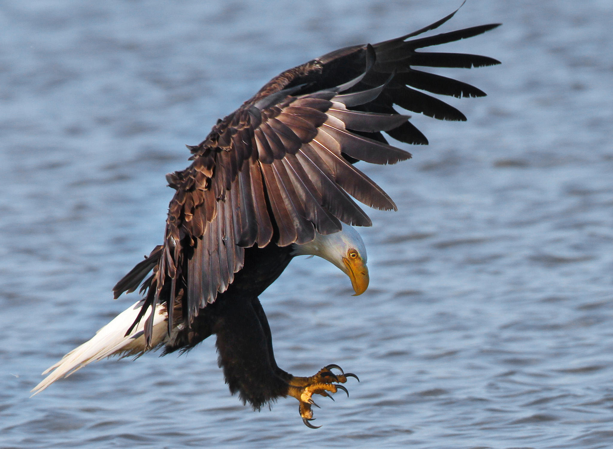 Bald Eagle Recovery In Vermont Audubon Vermont