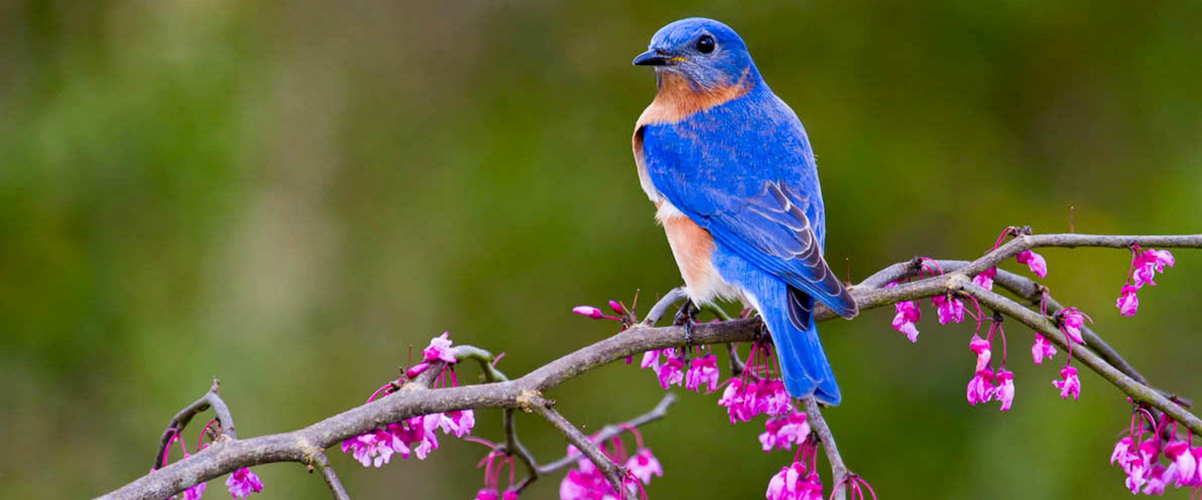 Eastern Bluebird with Eastern Redbud
