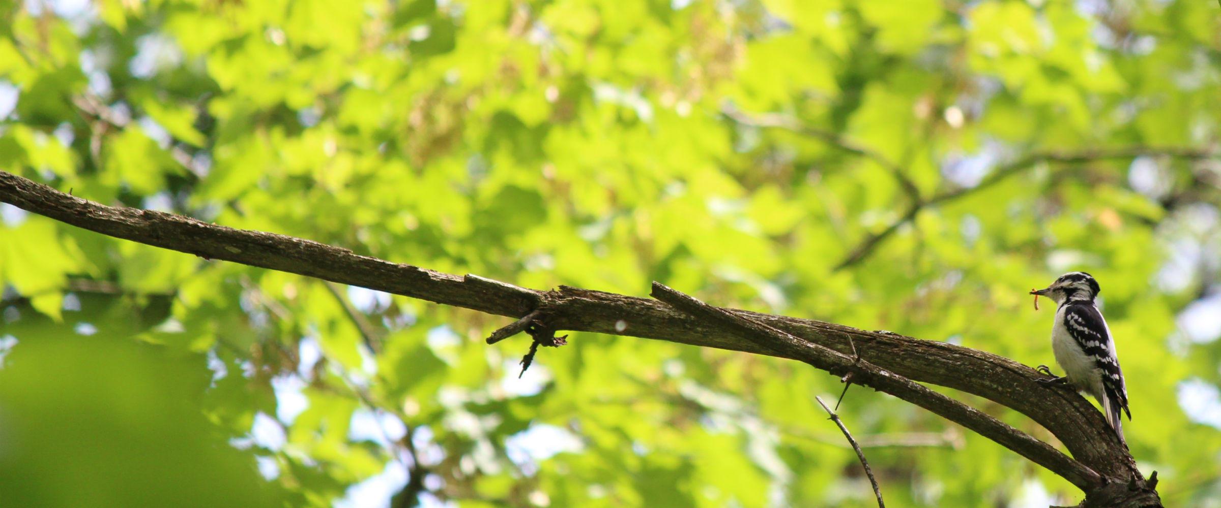 hairy_woodpecker_audubon_vermont