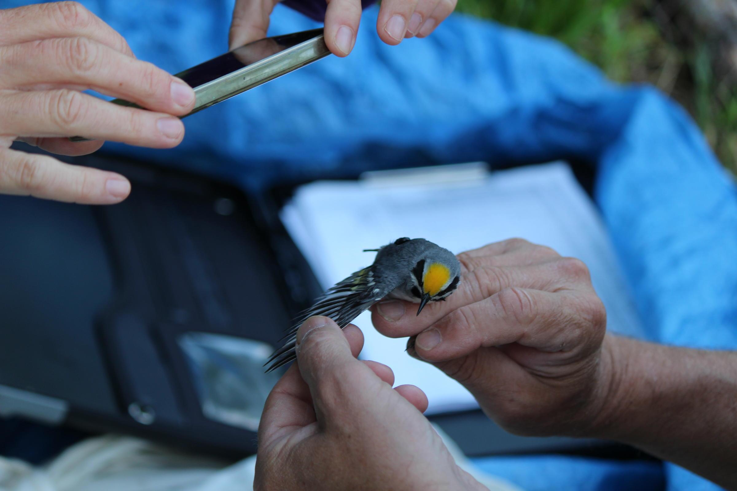 Golden-winged Warbler Geolocator Placement