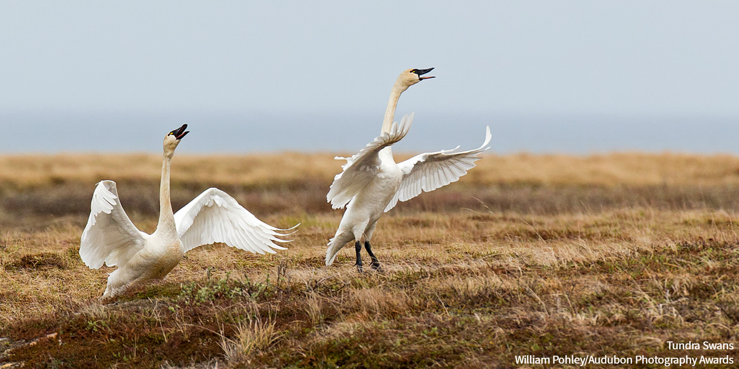 Tundra Swans Pair Take Off