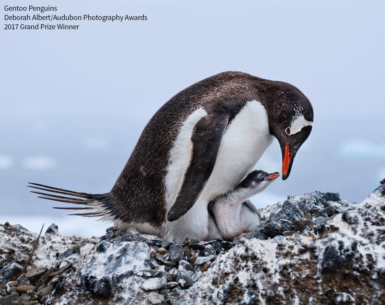 Gentoo Penguins. Photo: Deborah Albert/Audubon Photography Awards