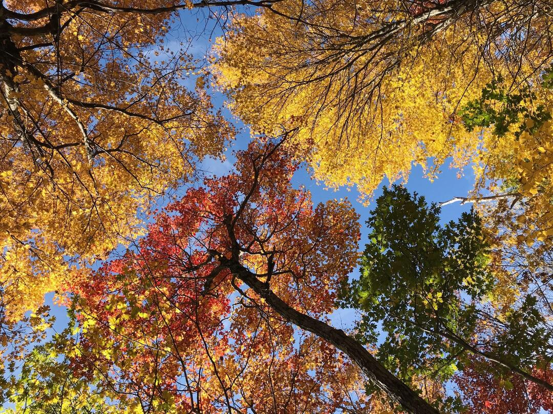 Stand of colorful maple trees