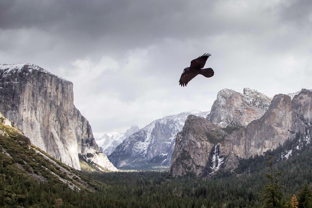 raven flying over Yosemite