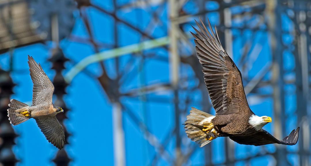 pergrine and eagle