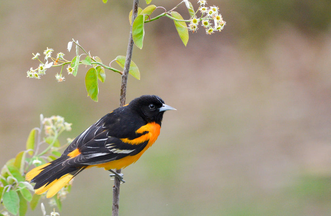 Baltimore Oriole with Serviceberry