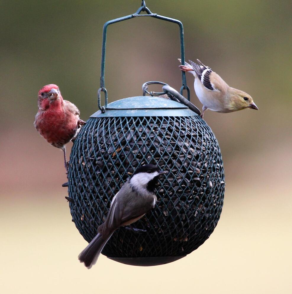 American Goldfinch, House Finch, and Black-capped Chickadee on a birdfeeder.