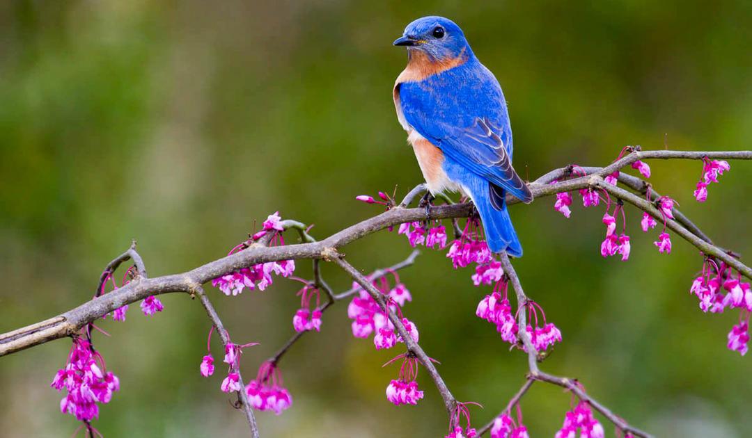 Eastern Bluebird with Eastern Redbud