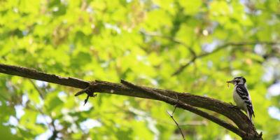 hairy_woodpecker_audubon_vermon