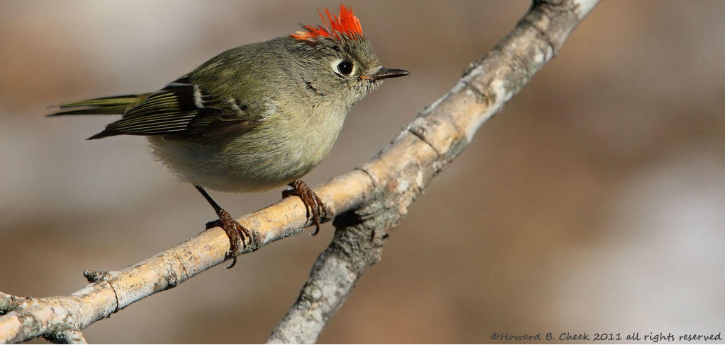 Ruby-crowned Kinglet